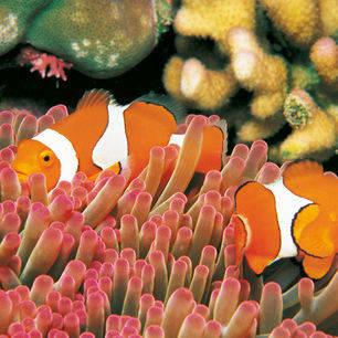 Australie-Great-Barrier-Reef-Nemo-visjes