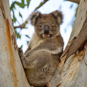 Australie-Kangaroo-Island-koala