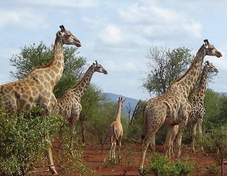 Zuid-Afrika-Mkuze-Game-Reserve-Giraf_1_348696