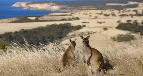 Spot Kangaroos op Kangaroo Island