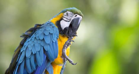 Peru-blauwe-ara