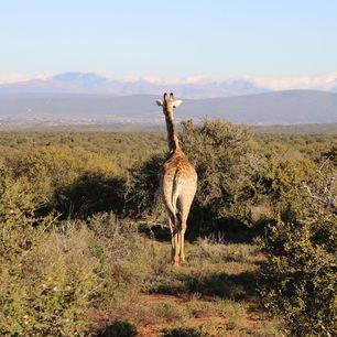 Zuid-Afrika-Oudtshoorn-Giraf