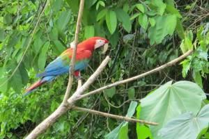 Rode-ara-in-de-jungle-van-Tambopata
