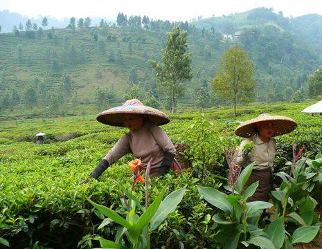 Indonesie-Java-theeplantages30