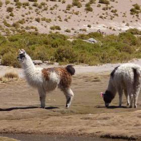 Alpaca's in Bolivia