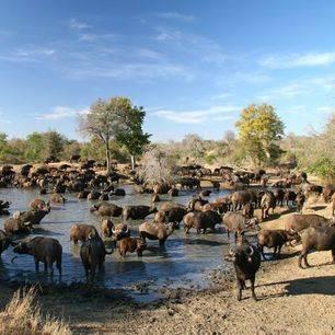 Zuid-Afrika-ThornybushWildreservaat-Chapungu-buffels_2_305054