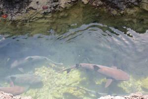 Snorkelen tussen de haaitjes