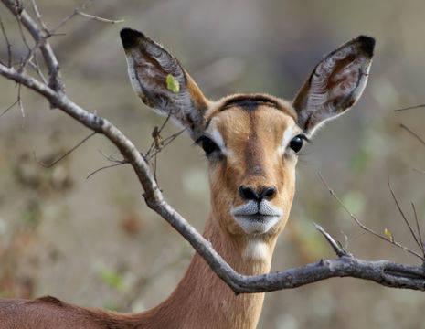 Mooie Impala in Zuid-Afrika