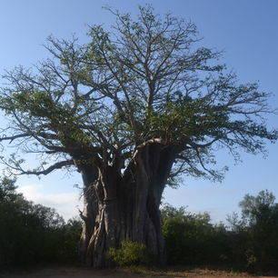 Zuid--Afrika-Krugerpark-Baobab