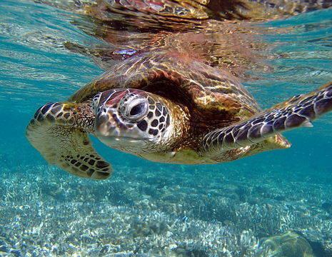 Australie-Lady-Elliot-Island-groene-schildpad_1_577452
