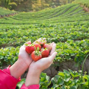 Cameronhighlands-aardbeienplantageveld(8)