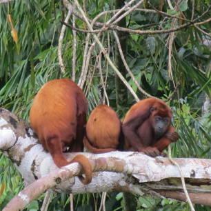 Een familie rode brulapen gespot in de bomen langs de Napo-rivier in de Amazone,