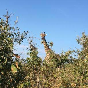 Botswana-Chobe-Giraffe1_1_365446