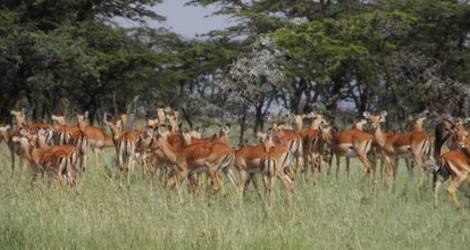 Masai Mara, impala's foto Ingrid(6)