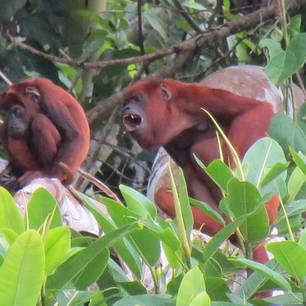 Rode brulapen in de Amazone
