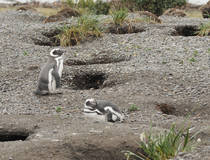 Pinguïns en schapenboerderij