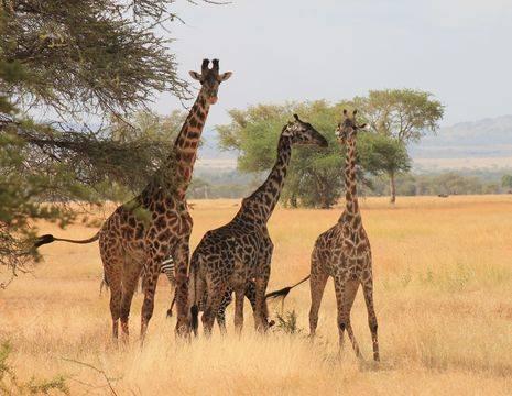 Tanzania-Serengeti-giraf(2)