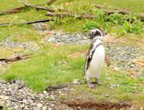Pinguïns in het Beagle-kanaal