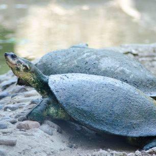 Colombia-TayronaNP-schildpadden