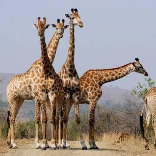 Zuid-Afrika-Hluhluwe-Giraf