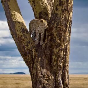 Tanzania-Serengeti-luipaard