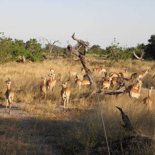 Botswana-Khwai-Antiloop_1_376284