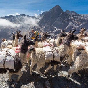 Lamas-El-Choro-Trekking-Bolivia