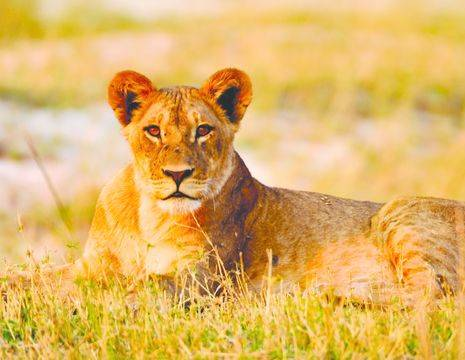 Etosha safari leeuw(12)