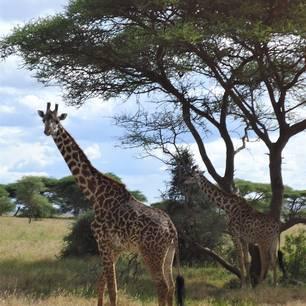 Tanzania-Serengeti-Giraffen(2)