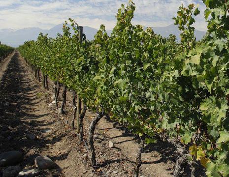 Chili-Maipo-Valley-wijngaarden_1_431905