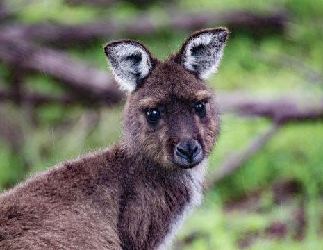 Australie-Kangaroo-Island-Kangoeroe