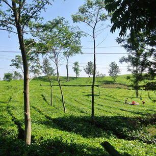 Indonesie-Java-Lembang-theezicht