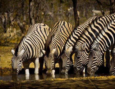 drinkende kudde zebra Track Trails foto(12)