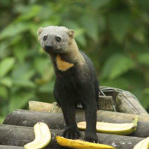 Ecuador-Mashpi-rolstaartbeertje