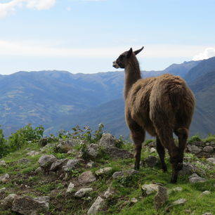 Peru-Chachapoyas-Lama in Kuelap_2_358823