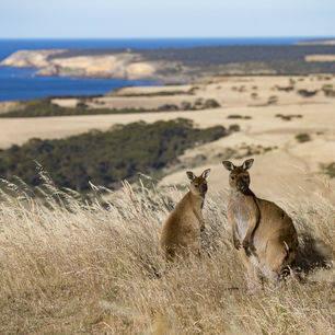 Australie-Kangaroo-Island-Kangaroos