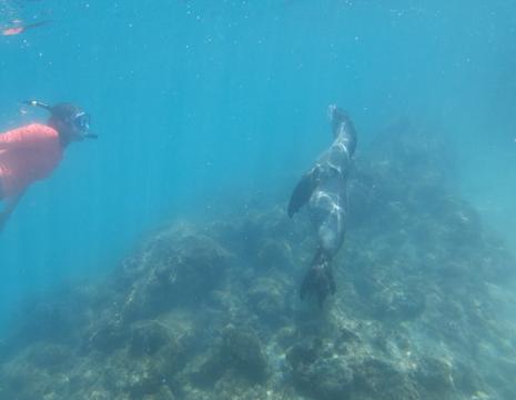 speelse zeeleeuwen bij Isabela