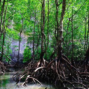 Langkawi-mangroveforest10