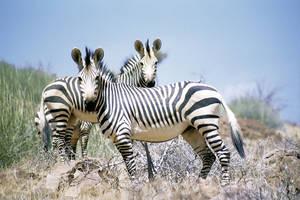 Zuid-Afrika-Krugerpark-Zebras