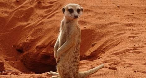 Namibie-Kalahari-Stokstaartje