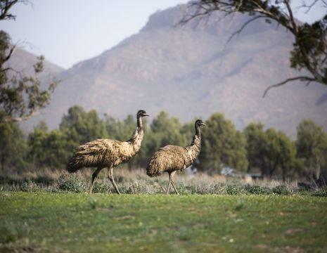 Australie-Flinders-Ranges-Emoes