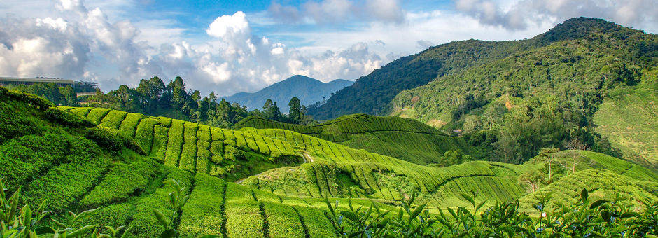 Maleisie-Cameron-Highlands-theeplantages-1