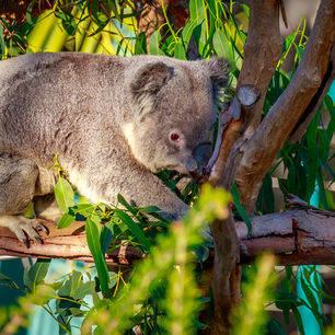 Amerika-San-Diego-Zoo-Koala_2_502434