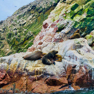 Peru-Islas-Ballestas-Zeeleeuwen_1_357163