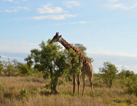 Krugerpark-Giraffe-2(5)