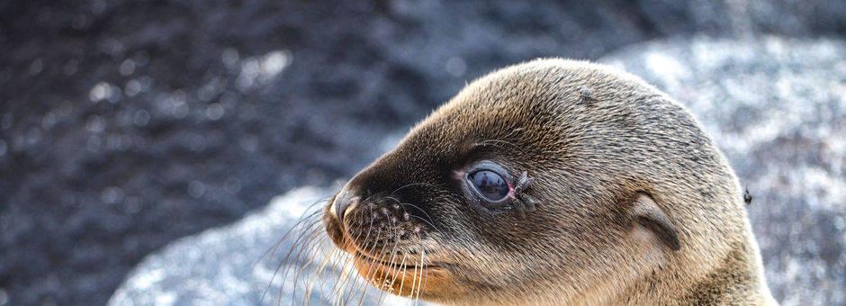 Vertederende zeeleeuw op Floreana, Galapagos