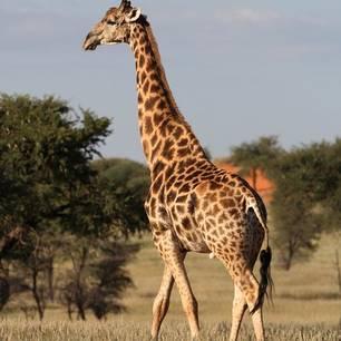 Namibie-Kalahari-Giraf