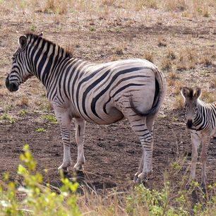 Zuid-Afrika-Hluhluwe-Zebra