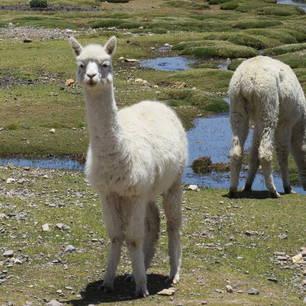 De-pluizige-alpacas-vind-je-overal(10)