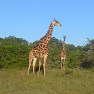 Addo-giraffe-2(10)